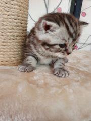 Wunderschöne 3 BKH Kätzchen mit