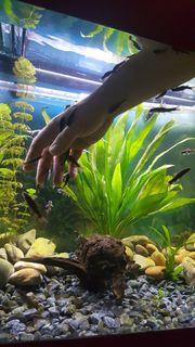 Garra rufa Knabberfisch Kangalfisch rötliche