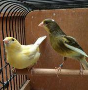 Kanarienvogel Harzer Roller Paar