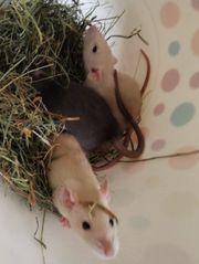 Weibliche Ratten abzugeben