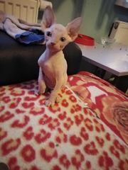 Sphynx reinrassige Kätzchen zuverkaufen