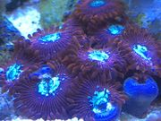 Korallen Zoanthus Krustenanemone Meerwasser