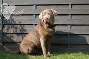 Traumhaft schöner Labrador Deckrüde steht