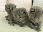 BKH Kitten in Blue Reinrassig