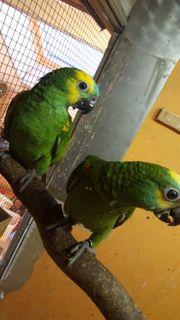 Blaustirn Amazonen