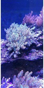 Meerwasser XXL Keniabäumchen