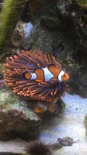 Pärchen Clownfisch