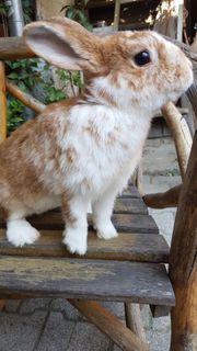 Hase Kaninchen