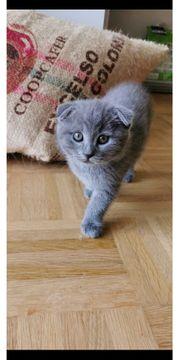 BKH Britisch Kurzhaar Kitten Abgabebereit