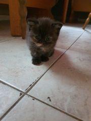 Schöne Bkh Kitten WEIBLICH