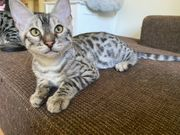 4 süße Katzenkinder abzugeben