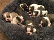 Reinrassiger Boston Terrier Welpen in