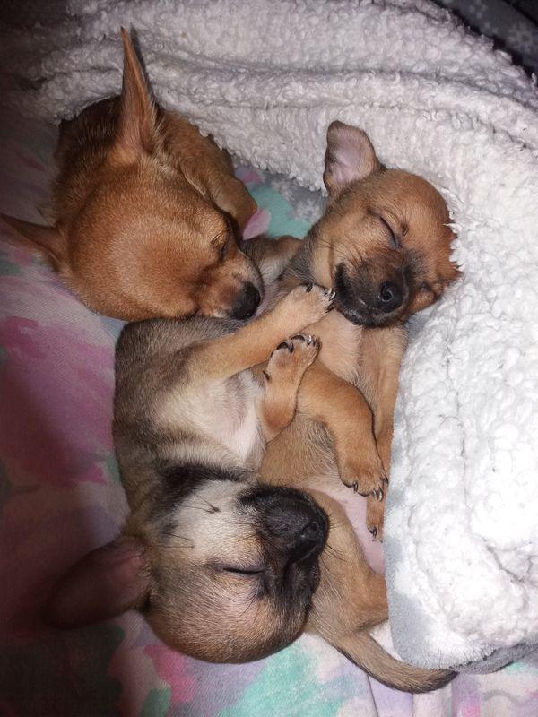Zwerg Chihuahua Rüde