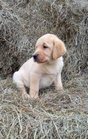 Labrador Welpen Rüden