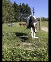 Suche Reitbeteiligung Reiter für Ponystute