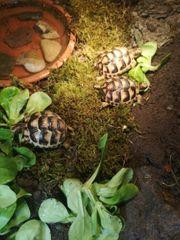 breitrandschildkröten NZ 2015