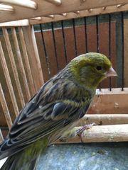 Kanarienvögel Hahn