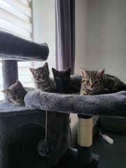 BKH Kitten Mix