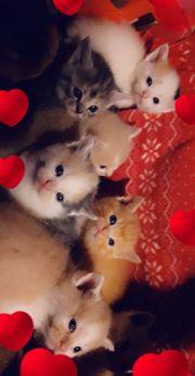 Perser BKH Mix Kitten