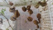 Biete Zebra-Apfelschnecken aus eigener Nachzucht
