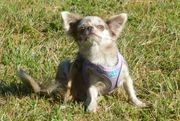 Chihuahua hündin lilac merle mit