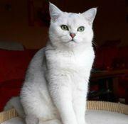Suche dringend BKH kitten Mädchen