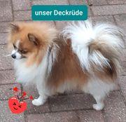 Erfahrener Deckrüde Pomeranian