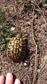 Griechische Landschildkröten THH NZ 17