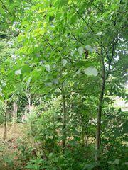 Walnuss-Bäume selbst aufgegangen zum selbst