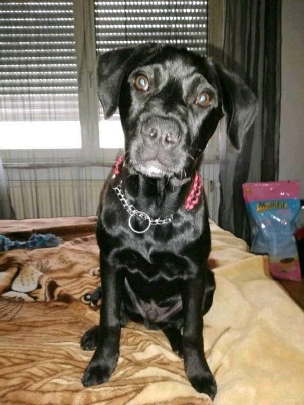 Labrador mix welpen kaufen