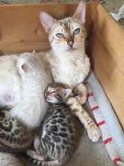 Reinrassige Bengalen Kitten ohne Stammbaum
