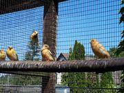 Kanarienvögel Vögel Nachzucht von 2021