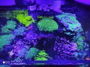 Beckenauflösung Meerwasser Korallen