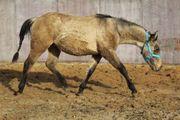 Quarter Horse Hengst in toller