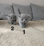 Reinrassige Scottish fold BKH kitten