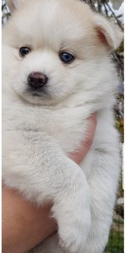 Pomsky F1 mini Husky Pomeranian