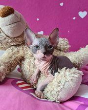 Don Sphynx Kitten m w