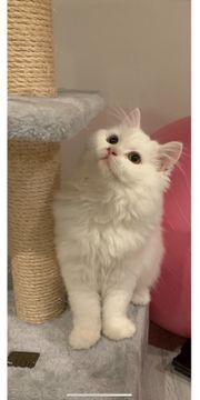 BLH Katze