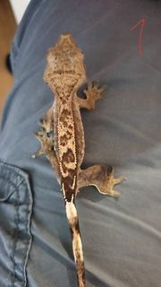 Kronengecko - Correlophus ciliatus