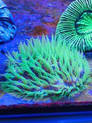 Meerwasser grüne Fungia