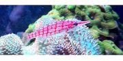 Meerwasser Korallenableger LPS SPS Scheibenanemonen