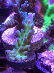 Meerwasser Acropora