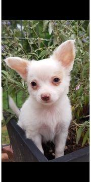 Nur noch 3 Chihuahua Langhaar