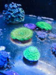 Meerwasser Fungia