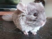 Wunderschönes Chinchilla-Mädchen 5 Monate jung