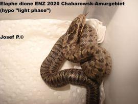 Elaphe dione Dionenatter Russland Chabarowsk: Kleinanzeigen aus Treuchtlingen - Rubrik Reptilien, Terraristik