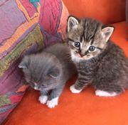 Wunderschöne BKH Mix Kitten