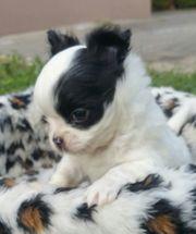 Chihuahuaprinz Mit toller Fellanlage sucht