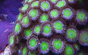 Meerwasser Korallen Ableger Zoanthus