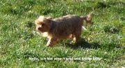 Yorkshire Terrier Hündin sucht neues